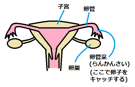 子宮と卵巣と卵管